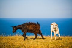 Crimean goats. On the background of the Black Sea royalty free stock photos