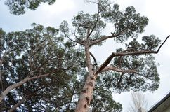 Crimean high pine. In spring cloudy weather Royalty Free Stock Photography