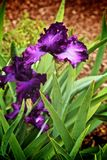 Crimean Iris flower. Purple ornamental Crimean Iris flower with green leaves that blooms in spring Stock Images