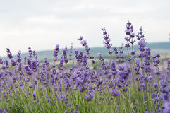 crimean lavender flowers Stock Photo
