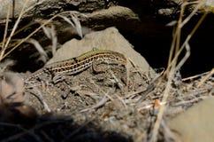 The Crimean mountain ordinary lizard creeps near stones Royalty Free Stock Images