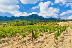 Crimean mountains, vineyard and summer Stock Images