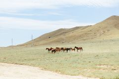 A herd of young brown horses running across the field. Summer, outdoors. Crimean nature. Horses running across the field stock photo