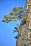 Crimean pine Royalty Free Stock Image