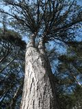 Crimean pine on a beautiful sunny day vertical. Kroon Crimean pine on a beautiful sunny day Stock Image