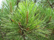 Crimean pine. The branch of the crimean pine. Nature Stock Image