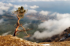 The Crimean pine on breakage of rocks Stock Photos