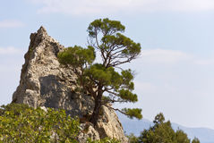 Crimean pine grows from crevices in the rock in the reserve. Stock Photos
