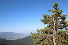 Crimean pine, or Pallas Pine in Ai-Petri mount and view of Yalta town, Crimea. The pine tree of the Pallas Pinus nigra subsp. Pallasiana is an evergreen tree stock photo