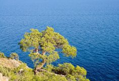 Crimean pine on rock over the sea Royalty Free Stock Photo