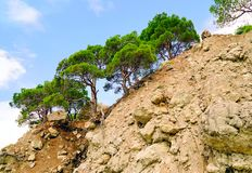 Crimean pine on a rocky mountain slope. The beach Figs ,Balaklava Cape Aya royalty free stock photography