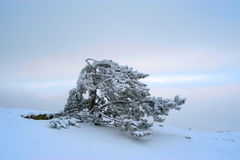 The Crimean pine in snow. Against pastel clouds in the winter Royalty Free Stock Photo