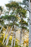 Crimean pine trees on mountain slope in autumn Royalty Free Stock Photos