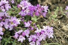 Crimean purpurfärgade blommor av timjan Arkivbilder