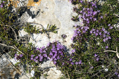 Crimean purpurfärgade blommor av timjan Arkivfoton
