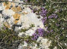 Crimean purpurfärgade blommor av timjan Fotografering för Bildbyråer