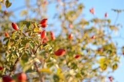 Crimean ripe wild mountain hips on a branch of a bush Stock Photo