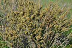 Crimean steppe wormwood. That's what grows in the Crimean steppes Royalty Free Stock Photography