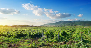 Crimean vineyard Stock Photography