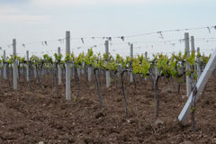 Crimean vineyards in the spring. Stock Photos