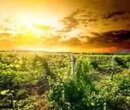 Crimean vingård Arkivbilder
