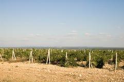 crimean vingårdar royaltyfri bild
