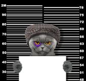 Criminal cat at the police station. Photo on black. Background Stock Image