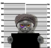 Criminal cat at the police station. Photo on white. Background Royalty Free Stock Photos