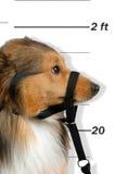 Criminal dog Royalty Free Stock Image