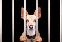 Criminal dog behind bars in police station, jail prison, or shel. Ter  for bad behavior Stock Photo