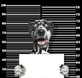 Criminal dog at the police station. Photo on black. Background Royalty Free Stock Photo