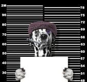 Criminal dalmatian dog at the police station. Photo on black. Criminal dog at the police station. Photo on blackbackground Royalty Free Stock Photo