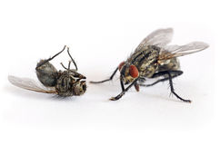 Criminal fly kill another fly. Two flies in macro focus Royalty Free Stock Photo