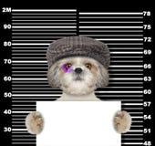 Criminal shitzu dog at the police station. Photo on black. Background Stock Images