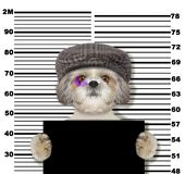 Criminal shitzu dog at the police station. Photo on white. Background Royalty Free Stock Photography