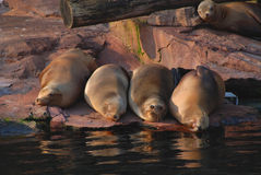 Crimped together. Four seals lying together beside water Royalty Free Stock Images