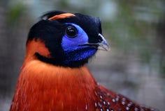 Crimson—bellied Tragopan. Head close-up Royalty Free Stock Photos