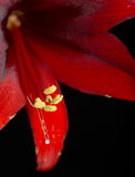 Crimson Amaryllis macro Royalty Free Stock Photo