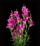 Crimson antirrhinum flower  on black background Royalty Free Stock Photos