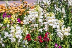 Crimson antirrhinum (snapdragon) flower Royalty Free Stock Photography
