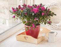 Crimson azalea and white watering can on the window Stock Images