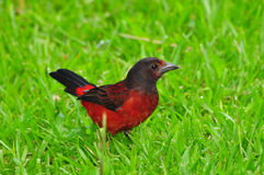 Crimson-backed Tanager Royalty Free Stock Images