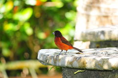 Crimson-backed Tanager Stock Photo