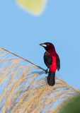 Crimson backed Tanager Stock Photography