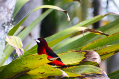 Crimson-backed tanager feeding on banana in green leaves Royalty Free Stock Images