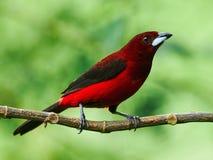 Crimson backed tanager, Ramphocelus d. dimidiatus. Crimson backed Tanager in a rainforest in Panama Royalty Free Stock Photos