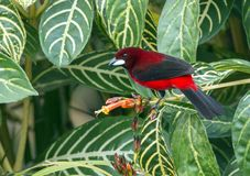 Crimson-backed Tanager  Ramphocelus dimidiatus. Closeup of a colorful red and black tropical songbird perching on a leafy flowering shrub,Panama Stock Photo