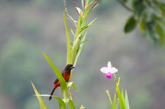 Crimson-backed Tanager sitting on an orchard flower Stock Image