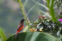 Crimson-backed Tanager sitting on palm leaf Royalty Free Stock Photo