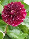 Crimson Beauty Royalty Free Stock Photo